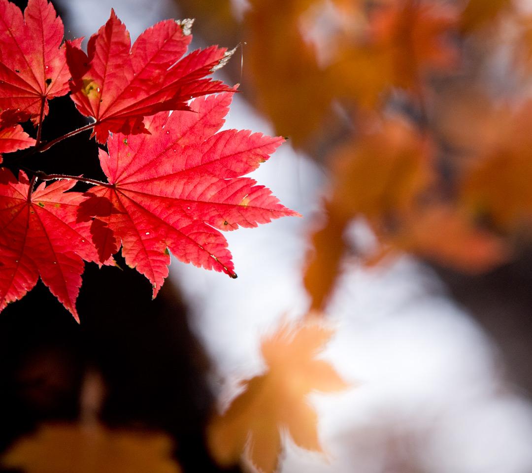 真っ赤な紅葉 シンプル・秋 スマートフォン壁紙 真っ赤な紅葉|スマートフォン無料壁紙 1080×